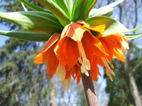 Native to Turkey the Fritillaria Imperialis