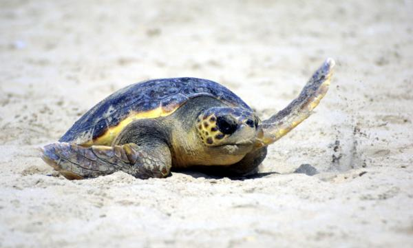 Loggerhead Turtles arrive between May and October